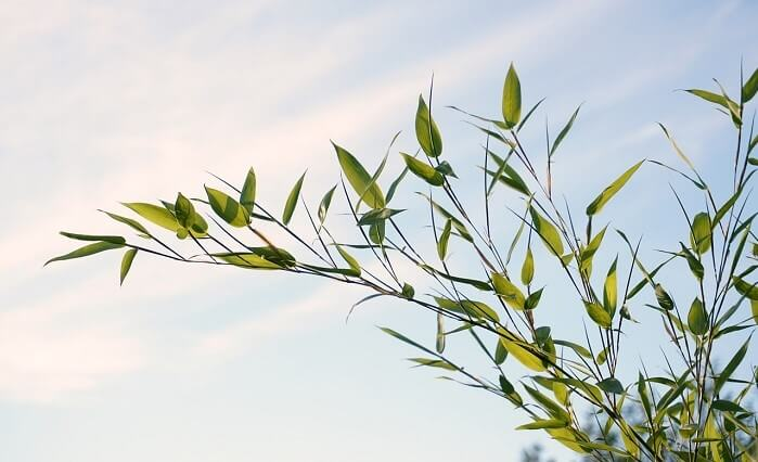 Bamboo Plants 101: Main Varieties and How to Grow Them