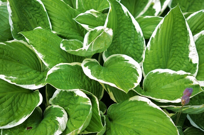 Hosta Plants 101: Varities and Growing Tips