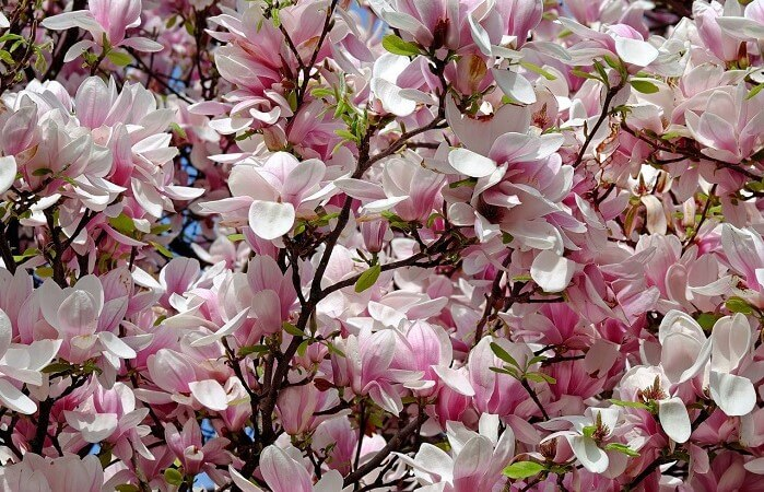 Magnolia Plant 101: Main Varieties and How to Grow Them