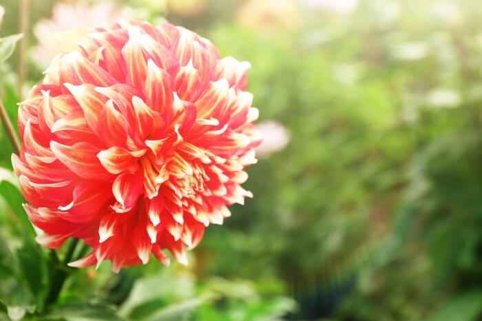 Dahlia Flowers 101: Planting and Growing Tips
