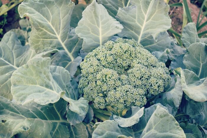 How to Grow Broccoli 101: Main Varieties and Tips