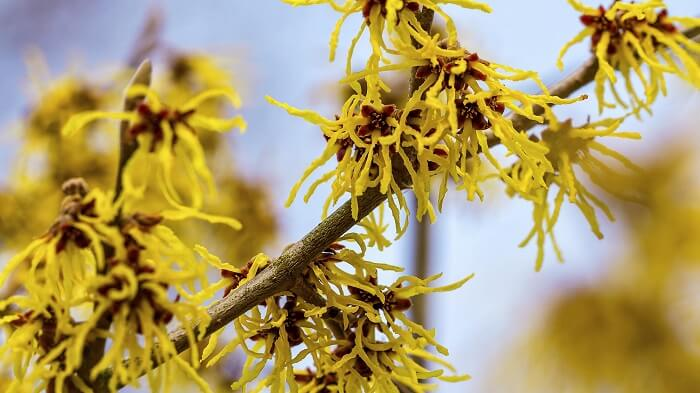 How to Grow Witch Hazel 101: Varieties and Planting Tips