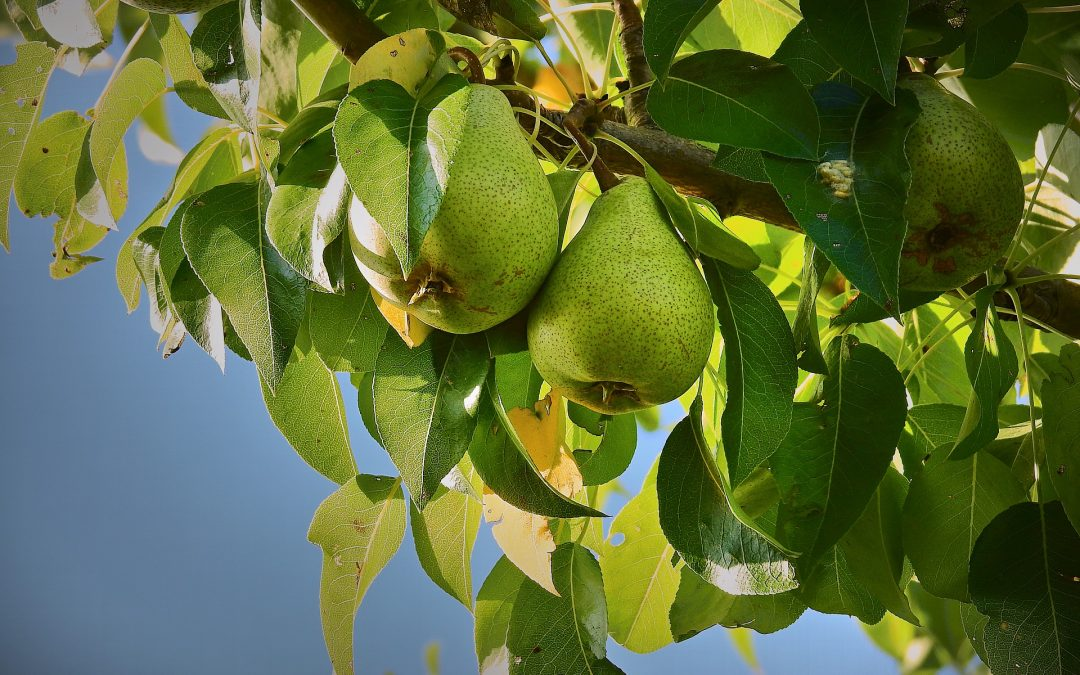 Everything You Need To Know About Pruning Pear Trees