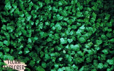 The Top 10 Evergreen Ground Cover Types And More Information About Them
